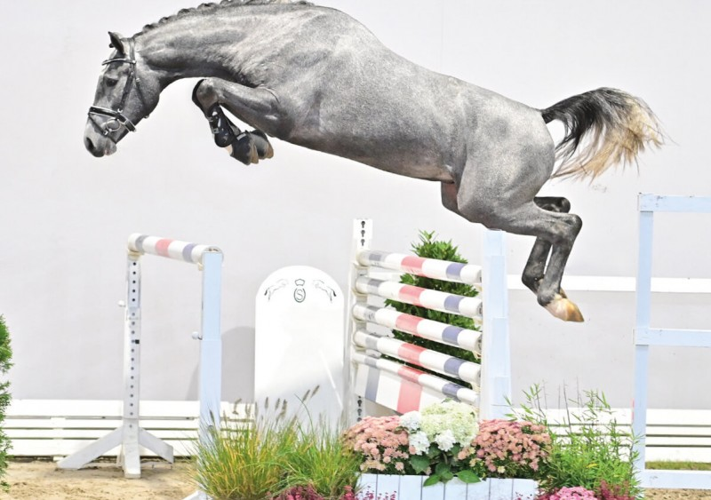 Commil Champ Z, reserve champion of the Oldenburg approval for € 140,000 to Zangersheide!