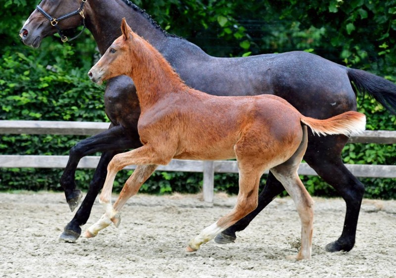 Z foals strike again at Flanders Foal Auction!